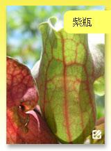 台灣蝕-紫瓶子草.jpg