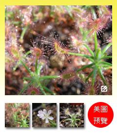 台灣蝕-蠍子毛氈苔-D.-scorpioides-預覽.jpg