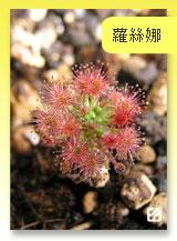 台灣蝕-蘿絲娜迷你毛氈苔-D.-paleacea-subsp.-roseana-首頁預覽.jpg