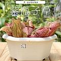 台灣蝕-紫瓶子草-S.-purpurea_01.jpg