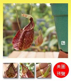 臺灣蝕-維京x萊佛士豬籠草-N. viking x rafflesiana