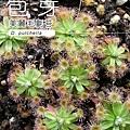 台灣蝕-美麗毛氈苔苞-1.jpg