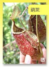 台灣蝕-葫x萊豬籠草.jpg