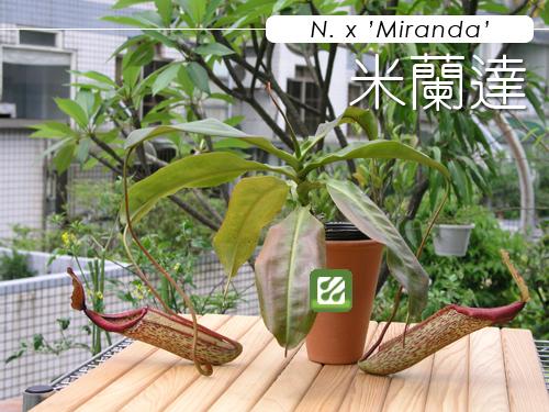 台灣蝕-米蘭達-01