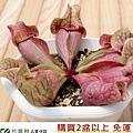 台灣蝕-紫瓶子草-S.-purpurea_03.jpg