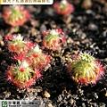 台灣蝕-崔裘凱莉迷你毛氈苔-D.-paleacea-subsp.-trichocaulis-2.jpg