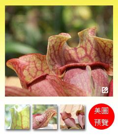 台灣蝕-紫瓶子草-S.-purpurea_預覽