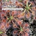 台灣蝕-歐美毛氈苔苞芽-1.jpg