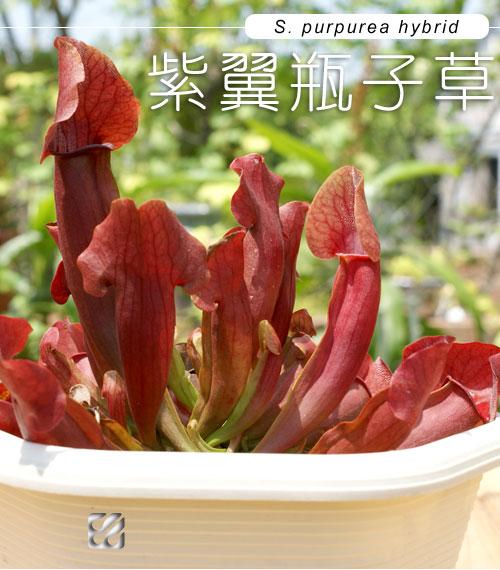 台灣蝕-園藝紫瓶子草-S.-purpurea-hybrid_01.jpg