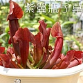 台灣蝕-紫翼瓶子草-S.-purpurea-hybrid_01.jpg