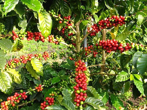 咖啡櫻桃 073