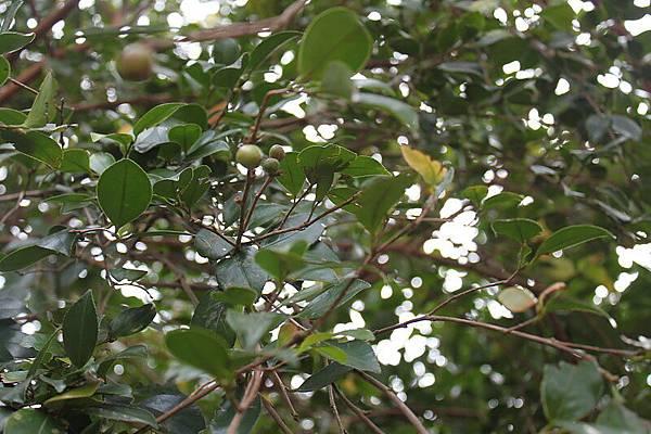 茶樹1.JPG