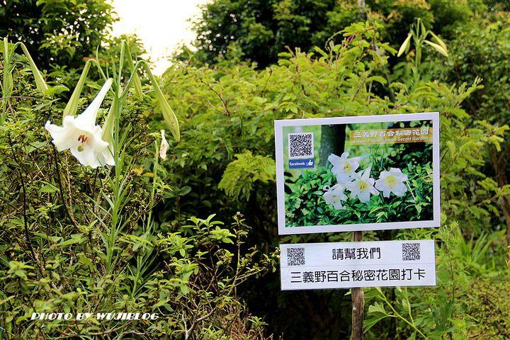 三義野百合秘密花園