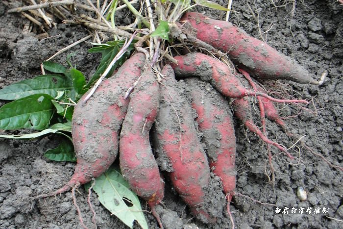 種植番薯 - 2