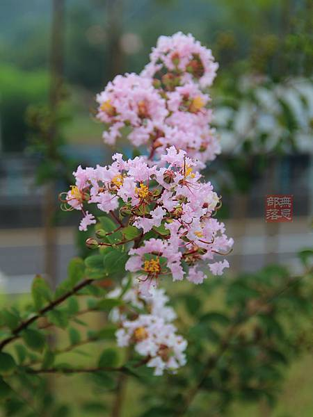 紫薇花.jpg