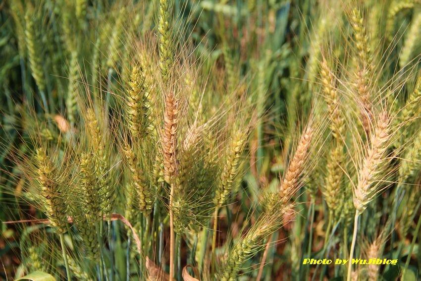 小麥 - 2