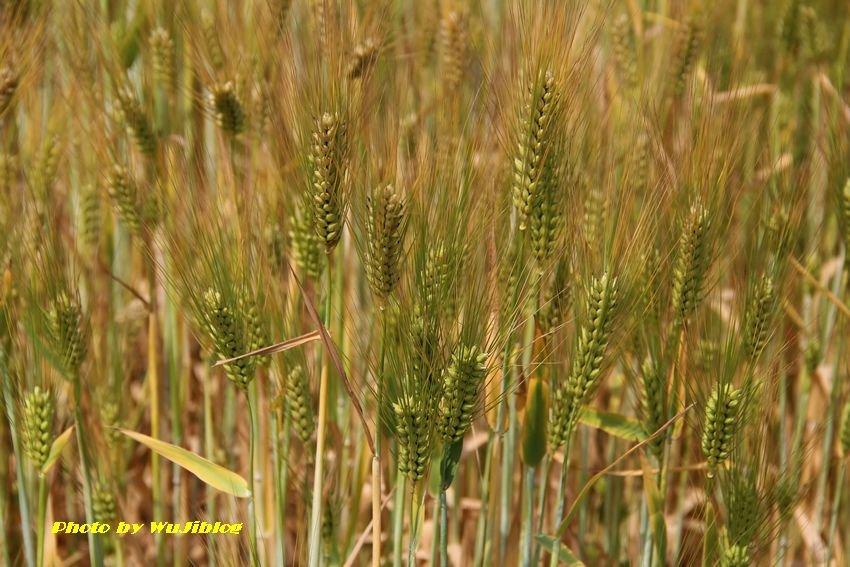 小麥 - 1