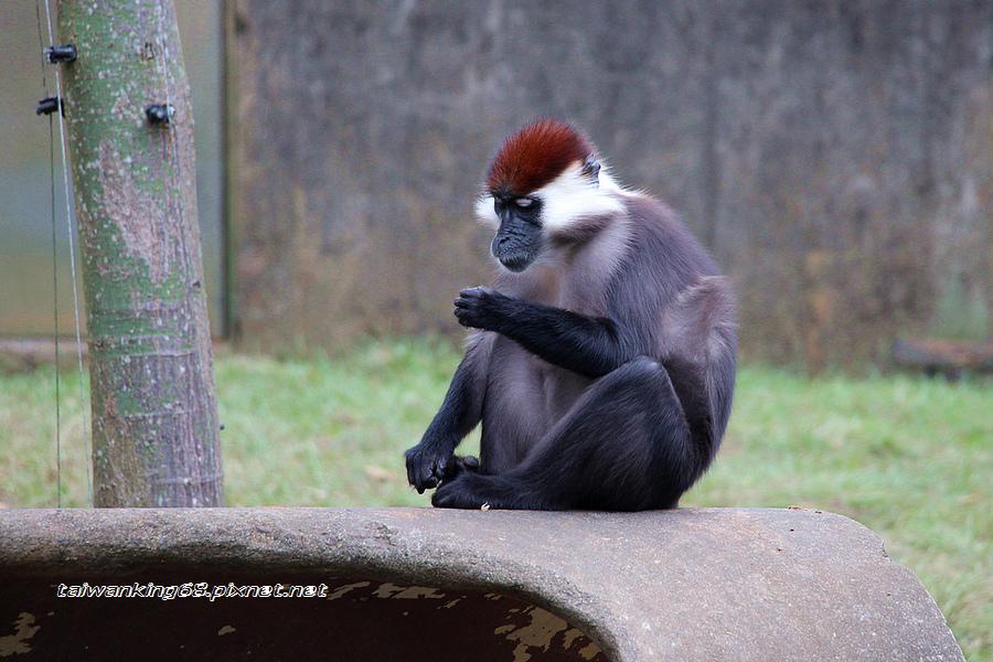 白領白眼臉猴_WUJIPIXNET