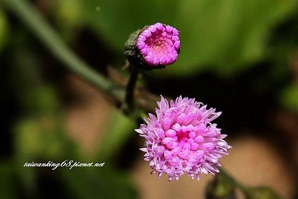 紫背草 16022210129941.jpg