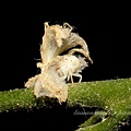 花斑廣翅蠟蟬若蟲
