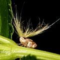 條紋廣翅蠟蟬若蟲