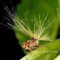 條紋廣翅蠟蟬科若蟲