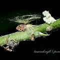 廣翅蠟蟬科若蟲