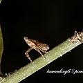 月紋象蠟蟬的若蟲