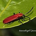 大紅薄翅螢金花蟲