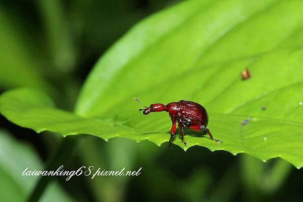 捲葉象鼻蟲