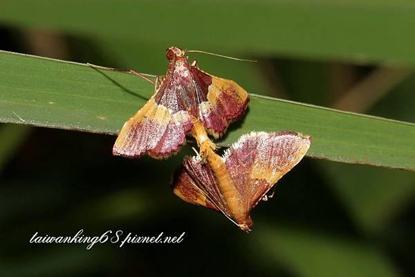 欖綠歧角螟蛾