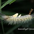 褐斑毒蛾之幼蟲