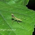 小螳螂若蟲