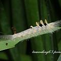 褐斑毒蛾幼蟲.jpg