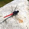 霜白蜻蜓.jpg