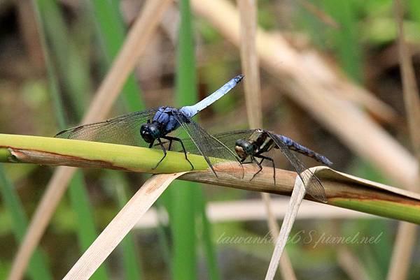 雌雄金黃蜻蜓.jpg