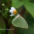 淡黃蝶 (銀斑型)