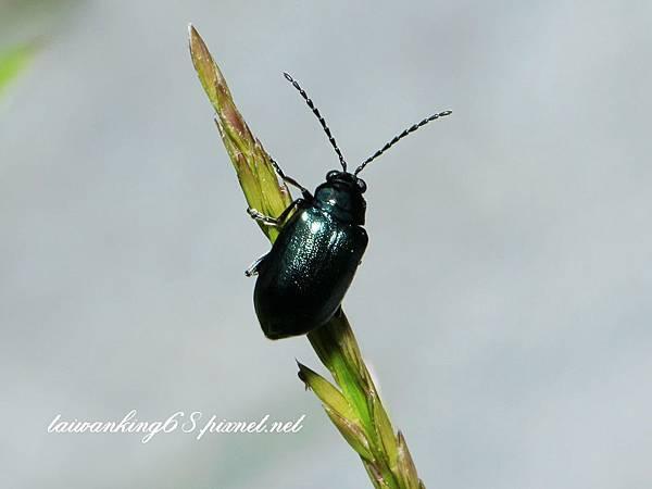 深藍金花蟲