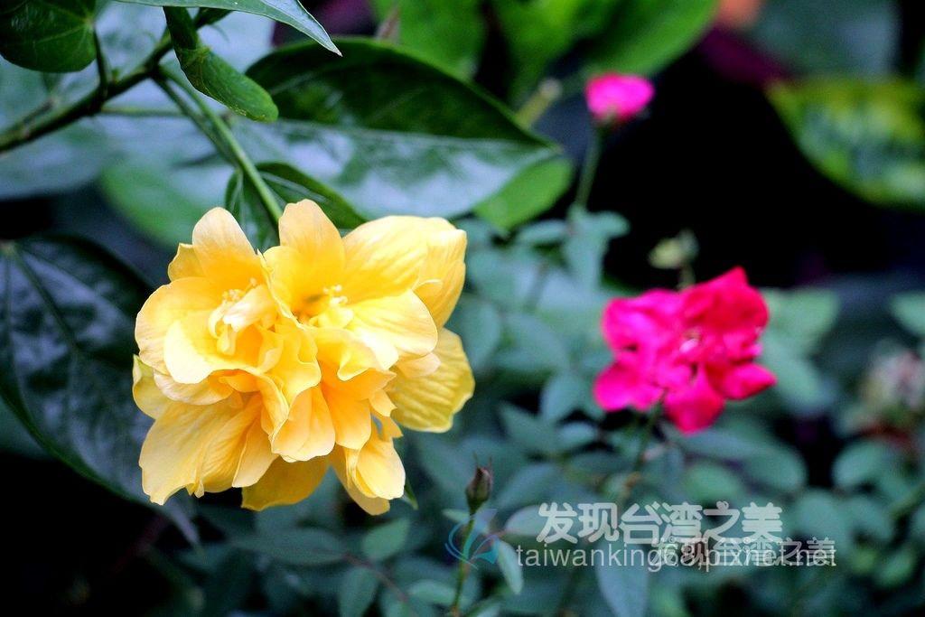 多重瓣純黃色扶桑花