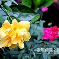 多重瓣純黃色扶桑花.jpg