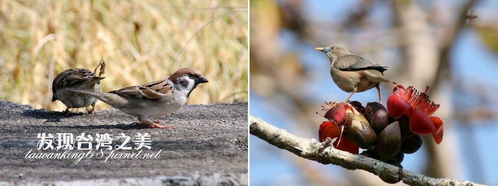 麻雀與栗尾椋鳥