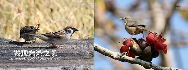麻雀與灰頭椋鳥