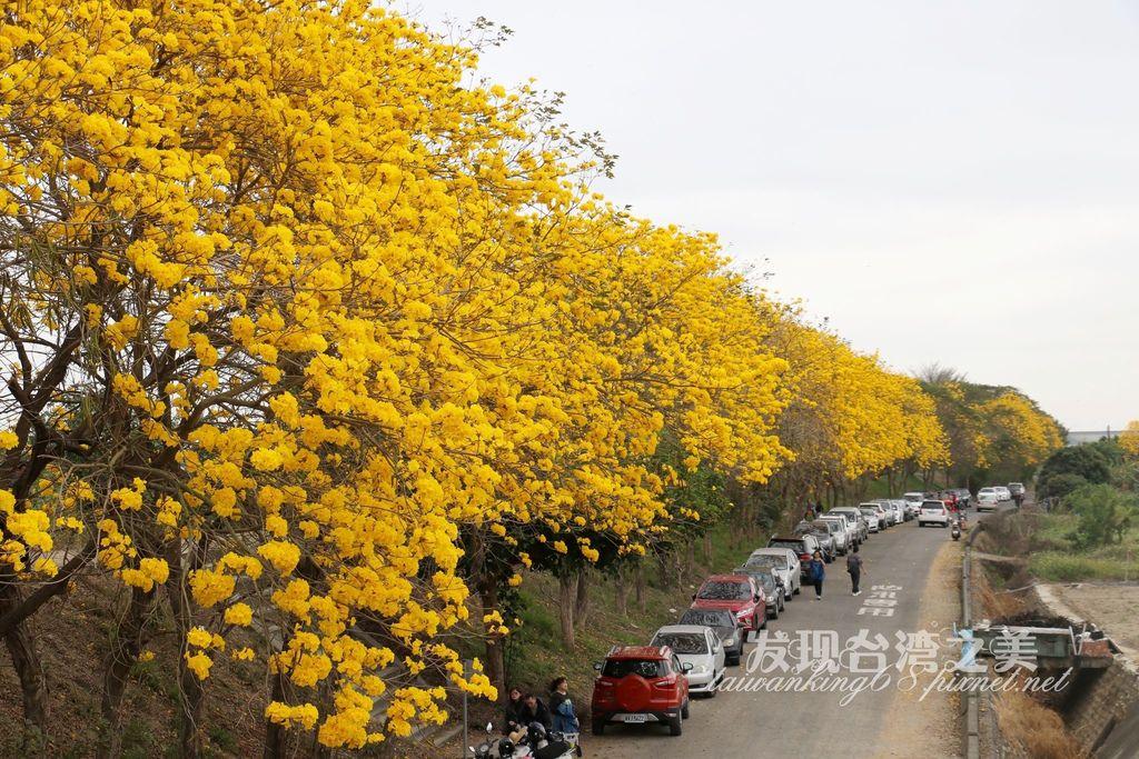 2020年嘉義朴子溪黃花風鈴木