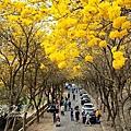 20200301朴子溪黃花風鈴木