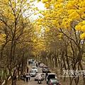 朴子溪黃花風鈴木20200302