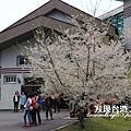 霧社櫻_202003219374