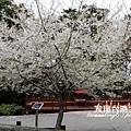霧社櫻_202003219302
