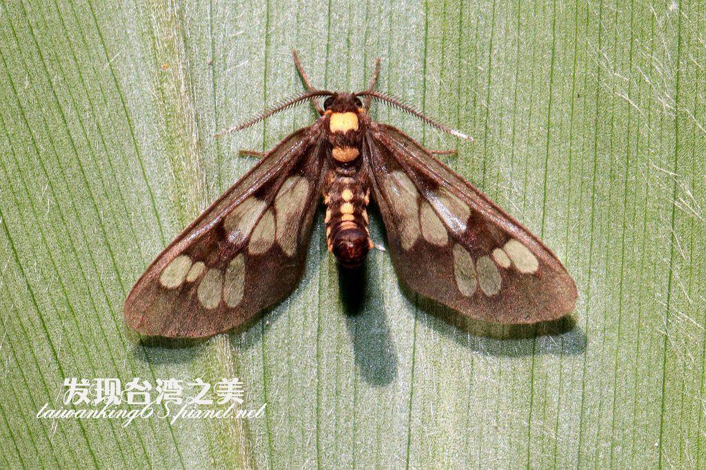 斑腹鹿子蛾