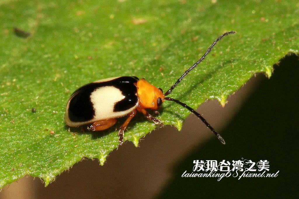 白緣溝腳葉蚤