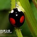 赤星瓢蟲_4202